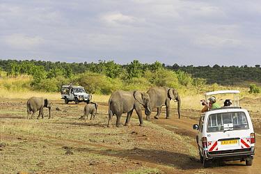 African Elephant (Loxodonta africana) group crossing the road, Samburu National Reserve, Kenya  -  Winfried Wisniewski