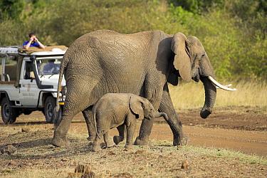African Elephant (Loxodonta africana) with calf crossing the road, Samburu National Reserve, Kenya  -  Winfried Wisniewski