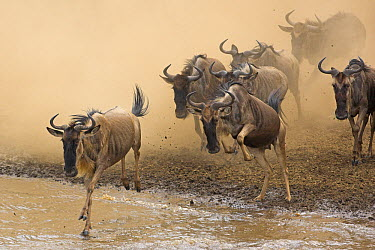 Blue Wildebeest (Connochaetes taurinus) herd crossing the Mara River, Masai Mara National Reserve, Kenya  -  Winfried Wisniewski