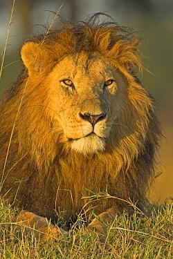 African Lion (Panthera leo) male, Masai Mara National Reserve, Kenya  -  Winfried Wisniewski