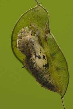 Cabbage Butterfly (Pieris brassicae) chrysalis with slight opening from which metamorphized butterfly will emerge, Netherlands, Sequence 4 of 17  -  Silvia Reiche