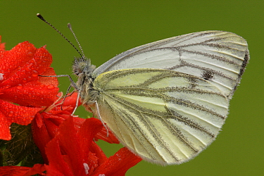 Green-veined White (Pieris napi) butterfly on red flower, Netherlands  -  Silvia Reiche