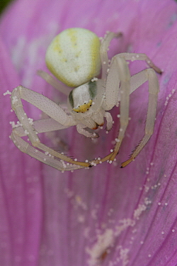 Goldenrod Crab Spider (Misumena vatia) with eggs on flower, Europe  -  Silvia Reiche