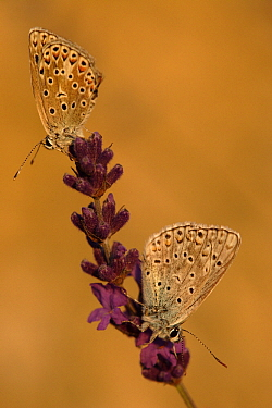 Chapman's Blue (Agrodiaetus thersites) butterfly pair, Netherlands  -  Silvia Reiche
