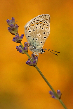 Chapman's Blue (Agrodiaetus thersites) butterfly on lavender flower, Netherlands  -  Silvia Reiche