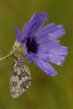 Marbled White (Melanargia galathea) butterfly on flower, Netherlands  -  Silvia Reiche