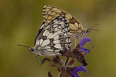 Marbled White (Melanargia galathea) butterfly pair mating, Netherlands  -  Silvia Reiche