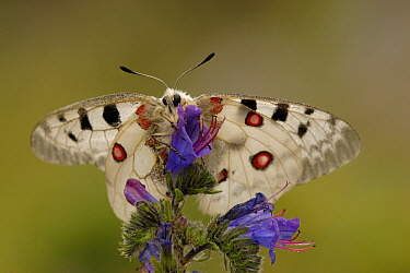 Mountain Apollo (Parnassius apollo) butterfly on Meadow Clary (Salvia pratensis) flower, Netherlands  -  Silvia Reiche