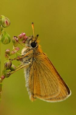 Lulworth Skipper (Thymelicus acteon) butterfly, Netherlands  -  Silvia Reiche