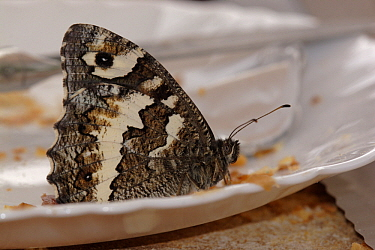 Great Banded Grayling (Brintesia circe) butterfly eating from a plate, Netherlands  -  Silvia Reiche