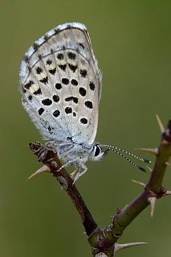 Baton Blue (Pseudophilotes baton) butterfly on bramble stalk, Netherlands  -  Silvia Reiche