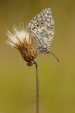 Marbled White (Melanargia galathea) butterfly, Netherlands  -  Silvia Reiche