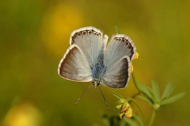 Chalk-hill Blue (Lysandra coridon) butterfly, Netherlands  -  Silvia Reiche