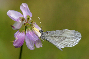 Wood White (Leptidea sinapis) butterfly on flower, Netherlands  -  Silvia Reiche