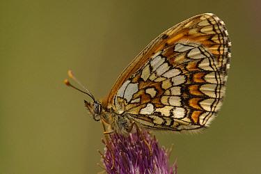 Heath Fritillary (Melitaea athalia) butterfly, Netherlands  -  Silvia Reiche