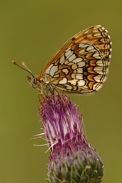 Heath Fritillary (Melitaea athalia) butterfly on flower, Netherlands  -  Silvia Reiche