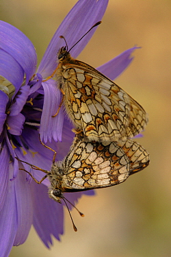 Heath Fritillary (Melitaea athalia) butterfly pair mating, Col de Muse, France  -  Silvia Reiche