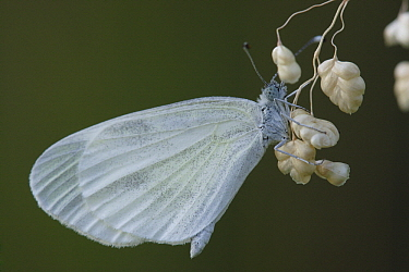 Wood White (Leptidea sinapis) butterfly on grass, St. Nazaire le Desert, France  -  Silvia Reiche