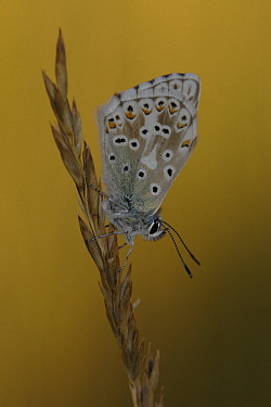 Chalk-hill Blue (Lysandra coridon) butterfly on grass, St. Lazaire le Desert, France  -  Silvia Reiche