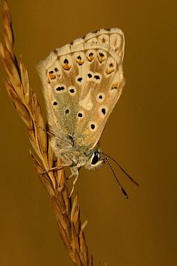 Chalk-hill Blue (Lysandra coridon) butterfly on grass, St. Lazaire le Desert, France  -  Silvia Reiche