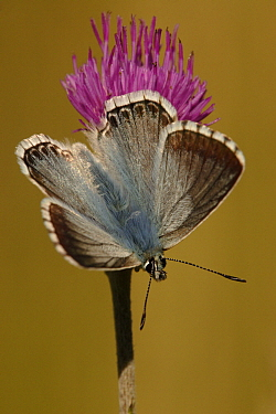 Chalk-hill Blue (Lysandra coridon) butterfly on thistle, St. Lazaire le Desert, France  -  Silvia Reiche