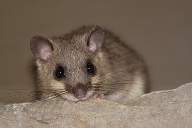 Fat Dormouse (Glis glis) young peeking over rock, St. Nazaire le Desert, France  -  Silvia Reiche