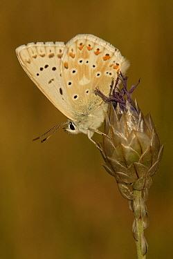 Chalk-hill Blue (Lysandra coridon) butterfly, St. Nazaire le Desert, France  -  Silvia Reiche