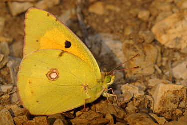 Clouded Yellow (Colias croceus) butterfly on ground, St. Nazaire le Desert, France  -  Silvia Reiche