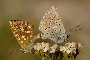Chalk-hill Blue (Lysandra coridon) butterfly pair mating, St. Nazaire le Desert, France  -  Silvia Reiche