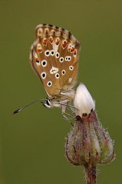 Chalk-hill Blue (Lysandra coridon) butterfly on bud, St. Nazaire le Desert, France  -  Silvia Reiche