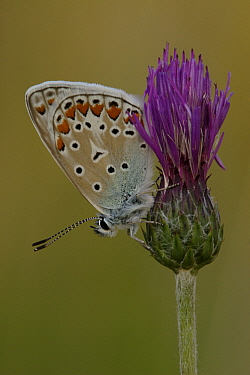 Common Blue (Polyommatus icarus) butterfly on thistle, St. Nazaire le Desert, France  -  Silvia Reiche