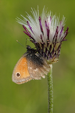 Small Heath (Coenonympha pamphilus) butterfly on flower bud, St. Nazaire le Desert, France  -  Silvia Reiche