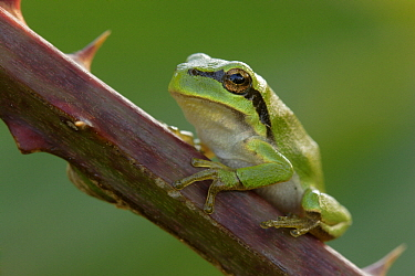 European Tree Frog (Hyla arborea) juvenile on bramble, Netherlands  -  Silvia Reiche