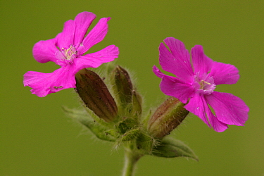 Red Campion (Silene dioica) flowers, Netherlands  -  Silvia Reiche