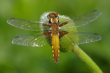 Broad-bodied Chaser (Libellula depressa) dragonfly on Poppy (Papaver sp) bud, Netherlands  -  Silvia Reiche
