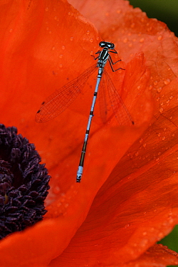 Azure Damselfly (Coenagrion puella) on Poppy (Papaver sp), Netherlands  -  Silvia Reiche