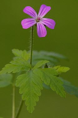 Herb Robert Geranium (Geranium robertianum) flowering, Netherlands  -  Silvia Reiche