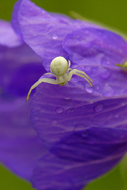 Goldenrod Crab Spider (Misumena vatia) on flower, Netherlands  -  Silvia Reiche