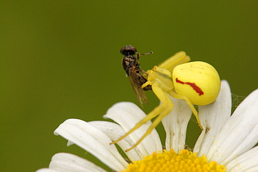 Goldenrod Crab Spider (Misumena vatia) with fly prey, Germany  -  Silvia Reiche