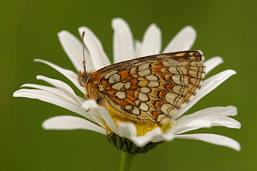 Nickerl's Fritillary (Melitaea aurelia) on Common Daisy (Bellis perennis) flower, Germany  -  Silvia Reiche