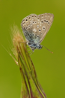Common Blue (Polyommatus icarus) butterfly, Germany  -  Silvia Reiche