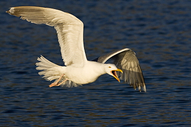 Herring Gull (Larus argentatus) calling while flying, Lauvsnes, Norway  -  Willi Rolfes/ NIS