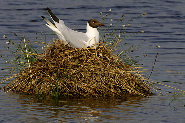 Black-headed Gull (Chroicocephalus ridibundus) incubating eggs on nest, Goldenstedt, Germany  -  Willi Rolfes/ NIS
