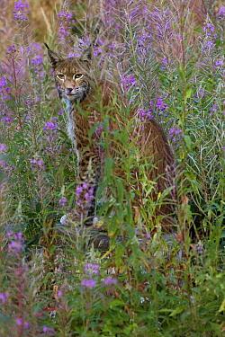Eurasian Lynx (Lynx lynx) in fireweed field, Neuhaus, Germany  -  Willi Rolfes/ NIS