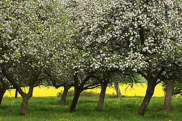 Cultivated Apple (Malus domestica) flowering in orchard in the spring, Feldberg, Germany  -  Willi Rolfes/ NIS
