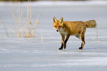 Red Fox (Vulpes vulpes) walking on ice, Feldberg, Germany  -  Willi Rolfes/ NIS
