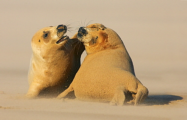 Grey Seal (Halichoerus grypus) pair playing on the beach, Donna Nook Nature Reserve, England  -  Jasper Doest
