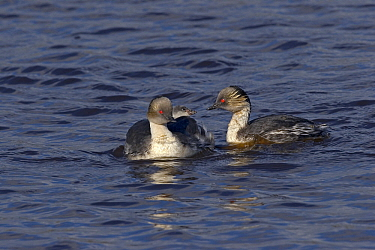 Silvery Grebe (Podiceps occipitalis) parents with chick, Falkland Islands  -  Otto Plantema/ Buiten-beeld