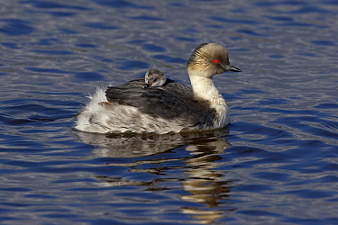 Silvery Grebe (Podiceps occipitalis) parent with chick on its back, Falkland Islands  -  Otto Plantema/ Buiten-beeld
