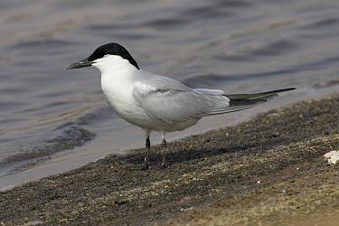 Gull-billed Tern (Gelochelidon nilotica), Evros, Greece  -  Otto Plantema/ Buiten-beeld